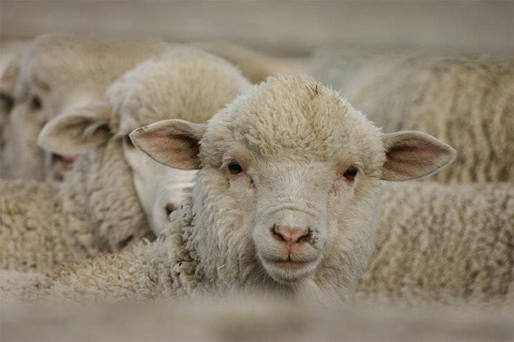 羊イメージ